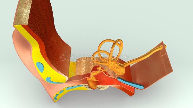 Ear Section vector illustration