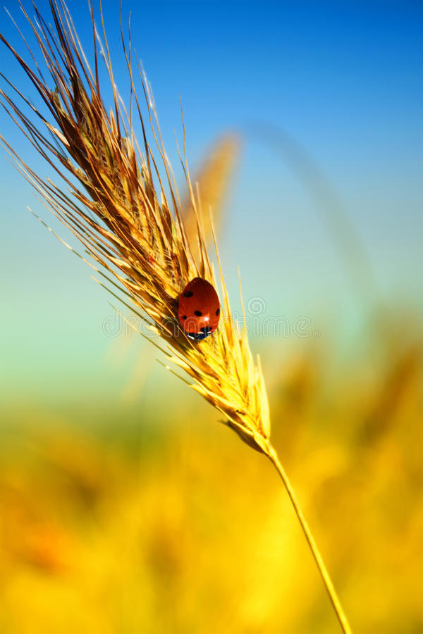 Ear of wheat. Photo of ear of wheat with ladybug on it royalty free stock photography