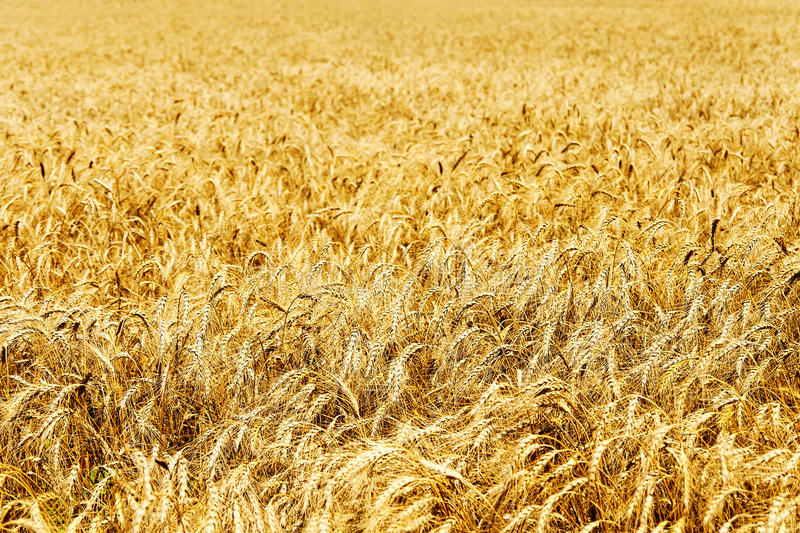 Download Ear Of Wheat Royalty Free Stock Images - Image: 24626369