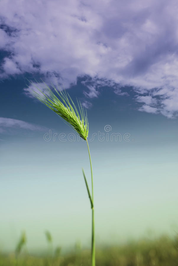 Download Ear of wheat stock photo. Image of storm, spring, drought - 24796738