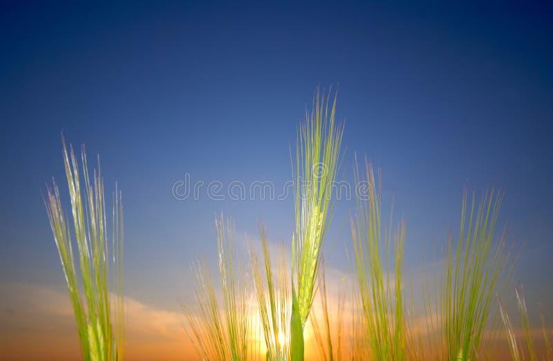 Ear wheat, evening royalty free stock photo