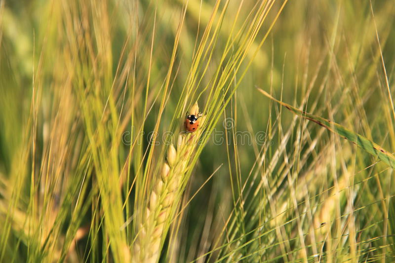 Ear of wheat with a small ladybug. In summer stock images