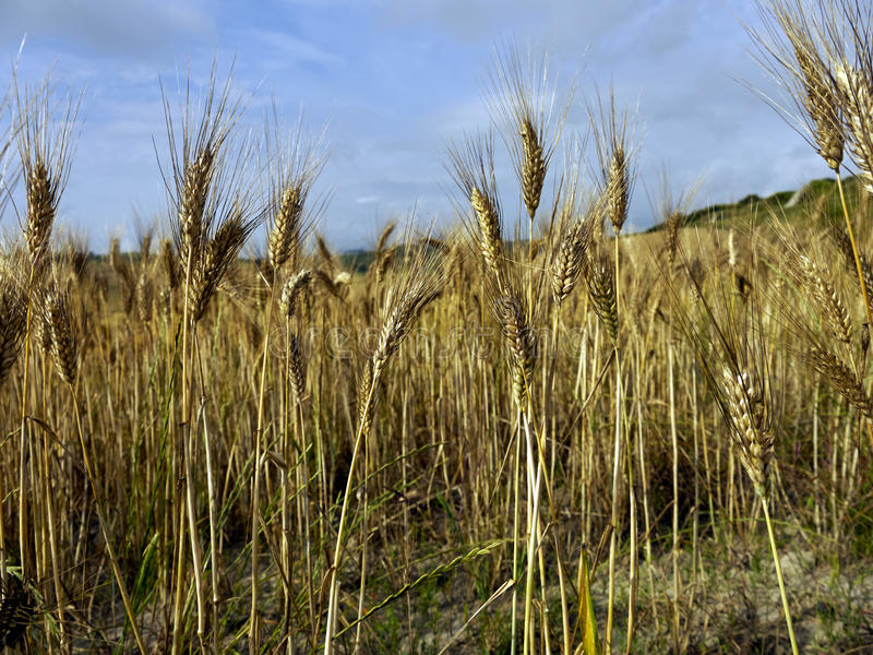 Ear of wheat royalty free stock photography