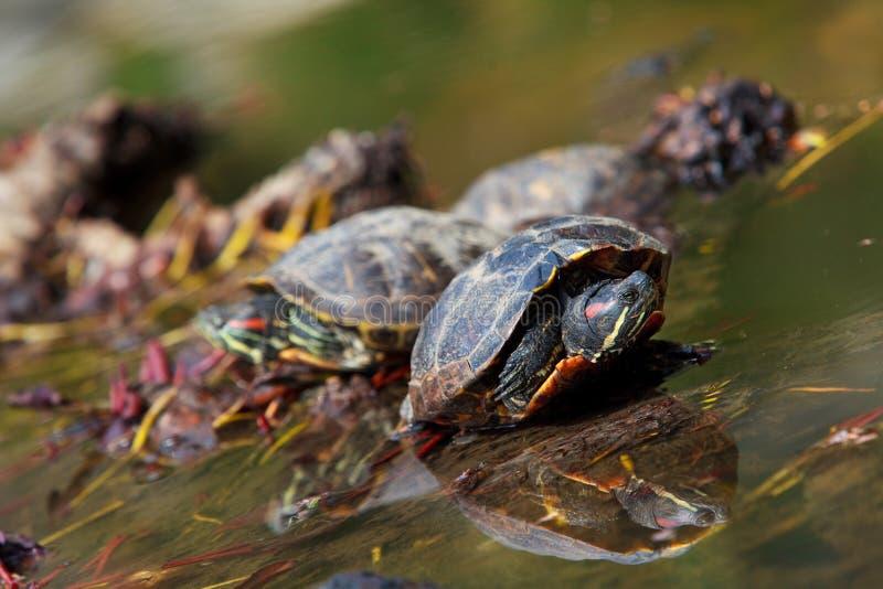 eared красные черепахи стоковое изображение