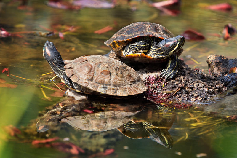 eared красные черепахи стоковая фотография