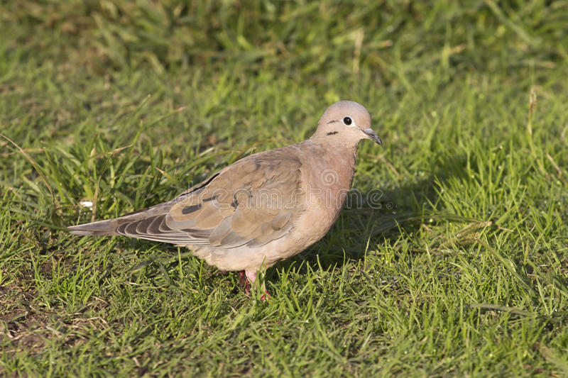 Eared Dove sitting on the green lawn of the Argentine town 1 stock image