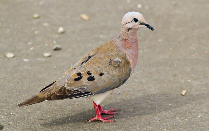 Eared Dove, Zenaida auriculata royalty free stock image