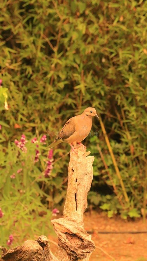 Eared Dove stock photos