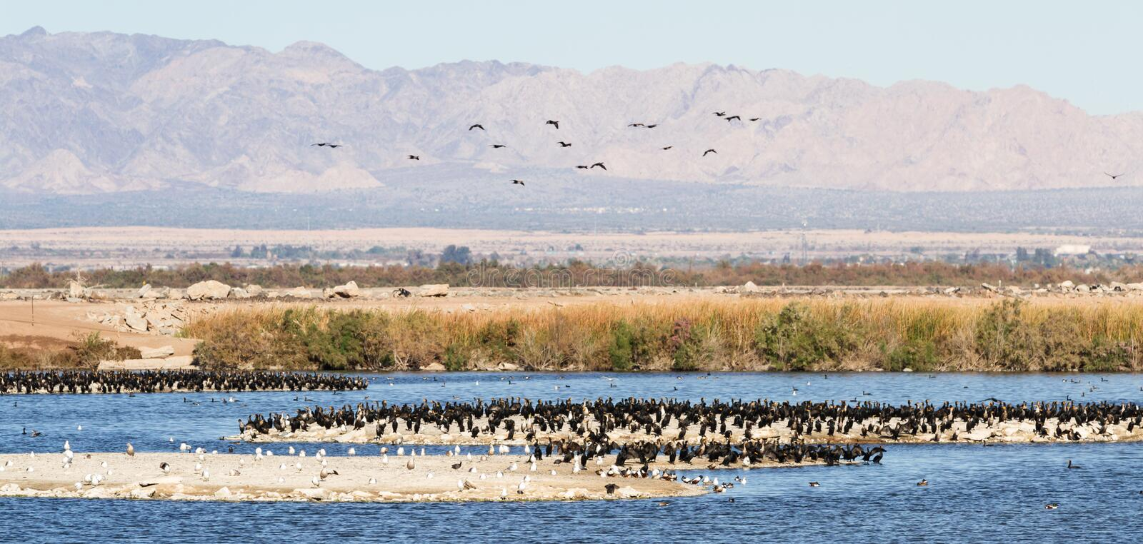 Eared Grebes, Salton Sea, California. Large congregation of Eared Grebes in the Sonny Bono National Wildlife Refuge in Southern California royalty free stock image