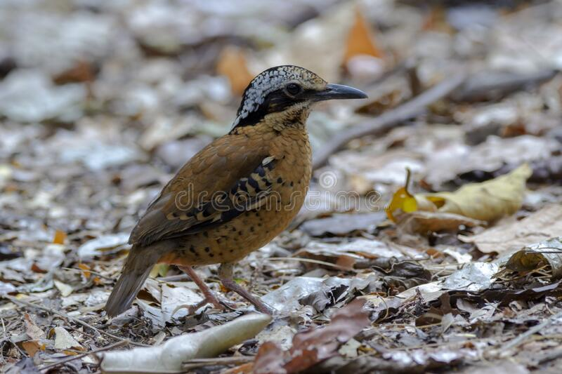 Eared Pitta bird is male with long white eyebrows, fine black stripes, black mouth under the eyes to the occiput, black Secondarie. S coverts are dark brown royalty free stock images