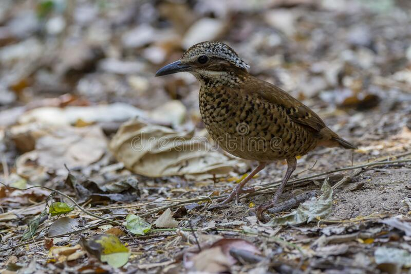 Eared Pitta bird is male with long white eyebrows, fine black stripes, black mouth under the eyes to the occiput, black Secondarie. S coverts are dark brown royalty free stock image