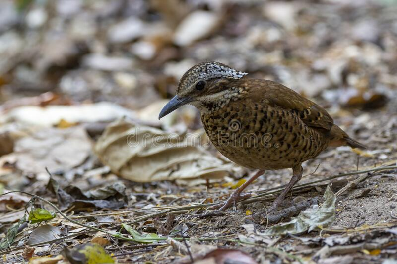 Eared Pitta bird is male with long white eyebrows, fine black stripes, black mouth under the eyes to the occiput, black Secondarie. S coverts are dark brown royalty free stock photo