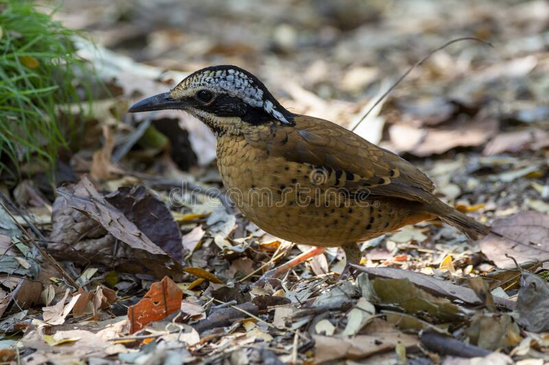 Eared Pitta bird is male with long white eyebrows, fine black stripes, black mouth under the eyes to the occiput, black Secondarie. S coverts are dark brown stock image