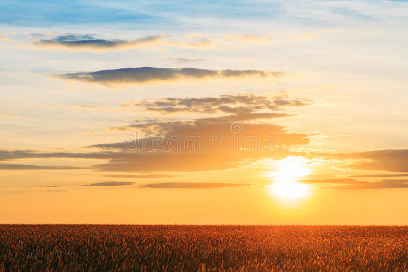 Eared Wheat Field, Summer Cloudy Sky In Sunset Dawn Sunrise. Sk royalty free stock image