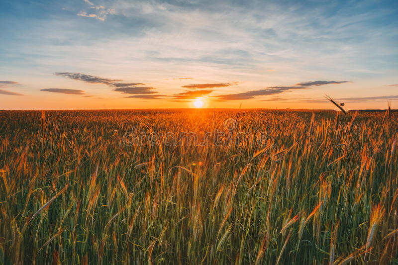 Eared Wheat Field, Summer Cloudy Sky In Sunset Dawn Sunrise. Sky stock image