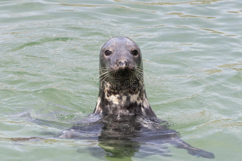 Earless seal head in the water Phocidae. stock image