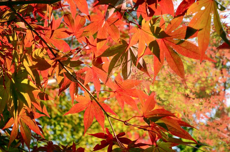 Early in Autumn with red Japanese maple leaves. stock photos