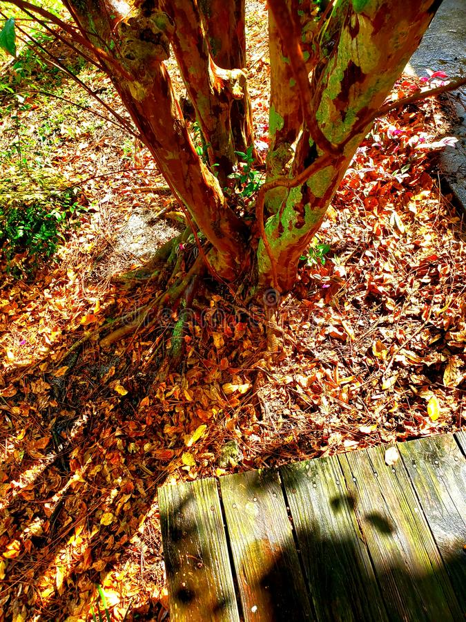 Early backyard fall leaves cape myrtle stock image