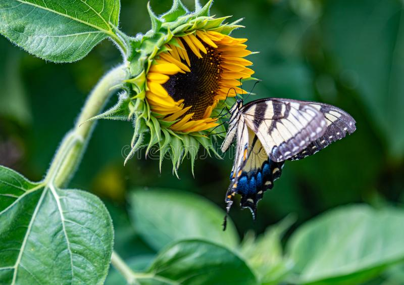 Early blooming sunflower with Eastern tiger swallowtail butterfly royalty free stock images