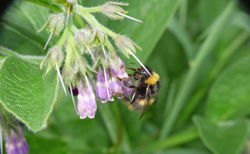 Early Bumblebee In The Garden royalty free stock photo