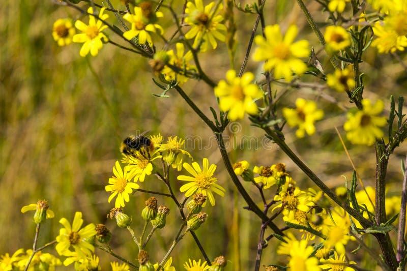 Early bumblebee on yellow flowers. Early bumblebee & x28;Bombus pratorum& x29; on yellow flowers, Faversham, England, United Kingdom stock image