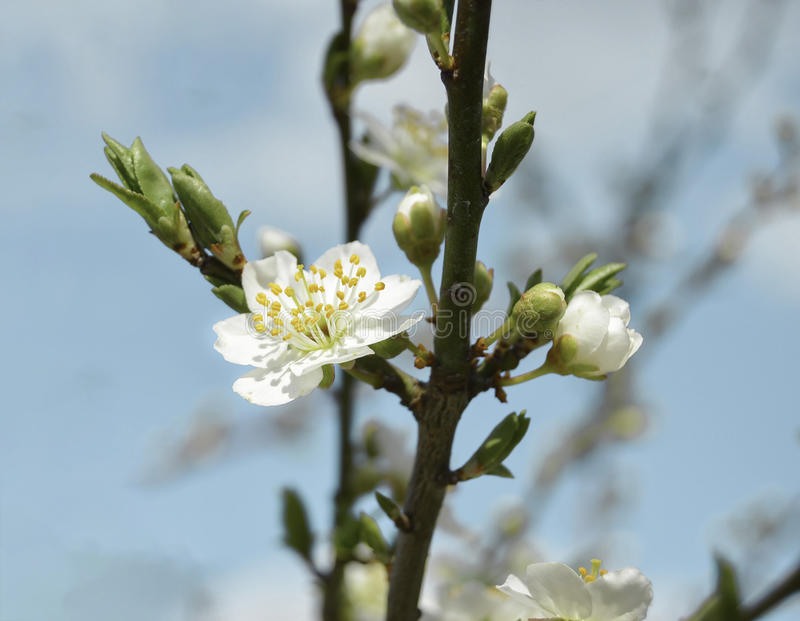 Early Cherry Flower. A cherry flower opened between the buds stock images