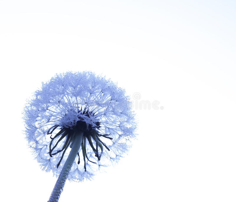 Early cold morning dew covered Dandelion in Fall season stock photos