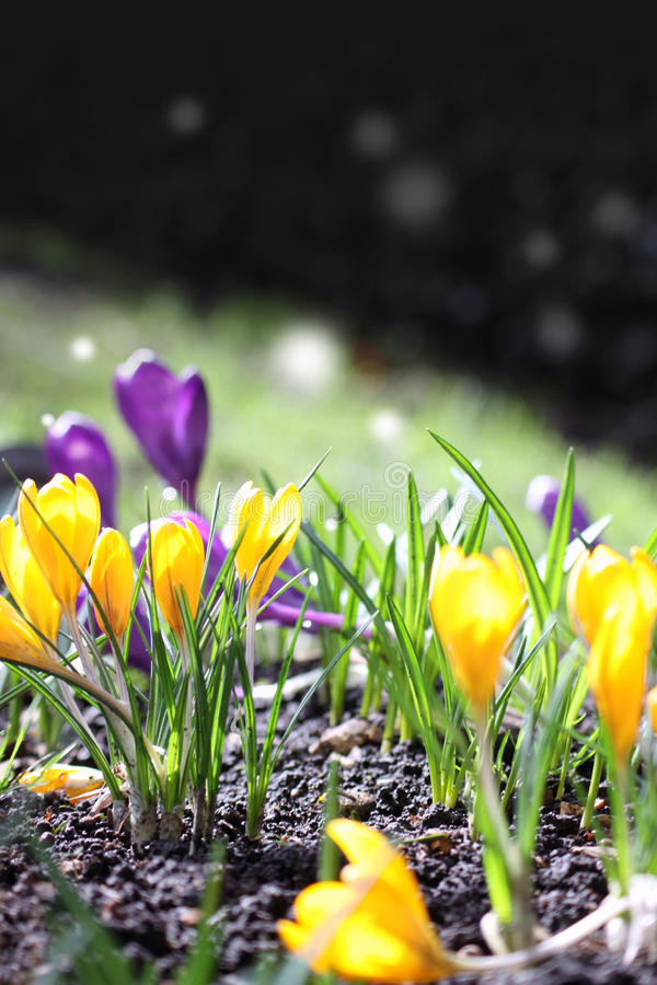 Early Crocus stock images