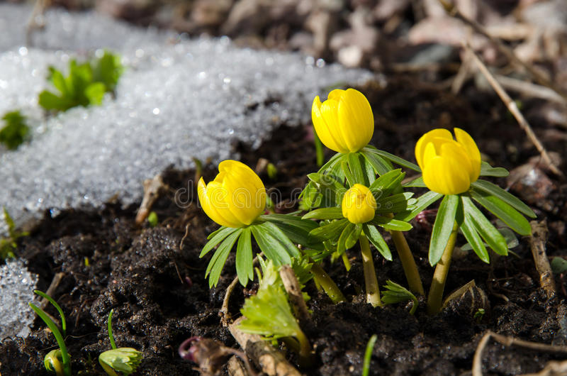 Download Early garden flowers stock image. Image of bright, fresh - 33304613
