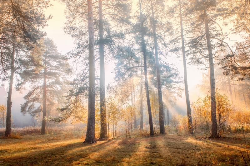 Old pine trees at early misty morning. Early morning in an autumn misty park with Old pine trees and sun rays stock photography