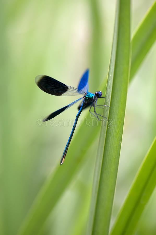 In the early morning, Calopteryx splendens dries its wings from dew. Under the first rays of the sun before flying royalty free stock image