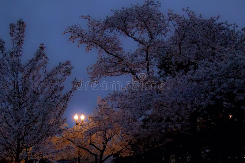 Early morning cherry blossoms royalty free stock image