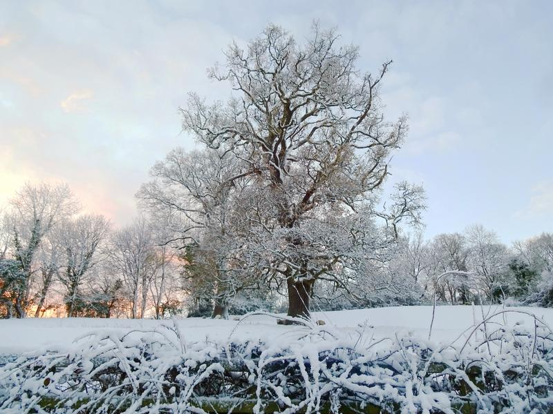 Dawn behind the snowy tree. Early morning dawn and snow overlaid on a tree with brambles to the front stock images