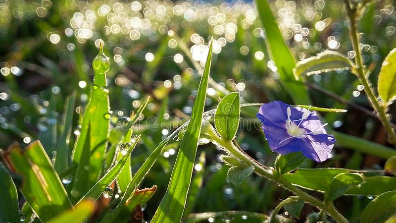 early morning dew stock photography