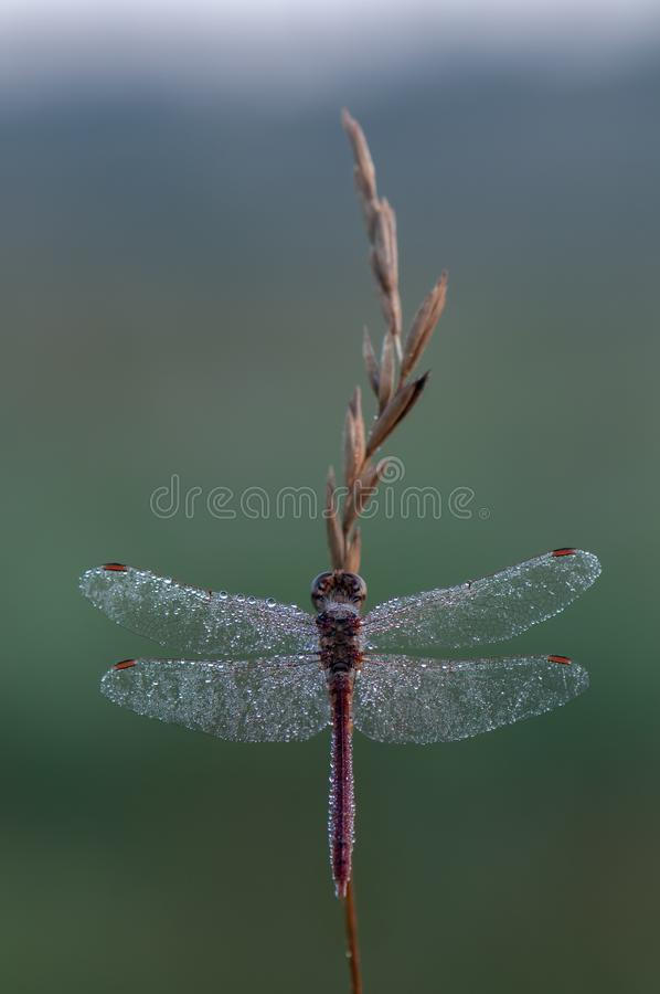 In the early morning, the dragonfly on a blade of grass dries its wings from dew under the first rays of the sun. Before flight royalty free stock photo