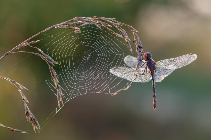 Early morning, the dragonfly on the plant is waiting for the sun, dragonfly and cobweb in the dew. Autumn early morning, the dragonfly on the plant is waiting royalty free stock image