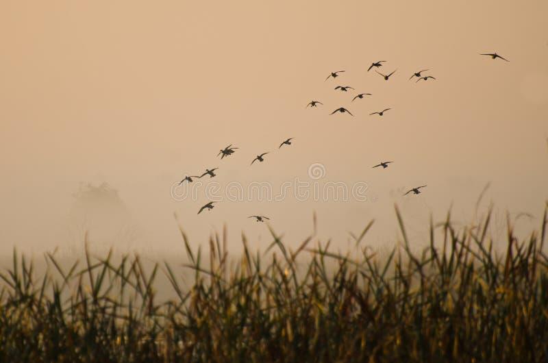 Early Morning Flight of Ducks Above Foggy Marsh stock images