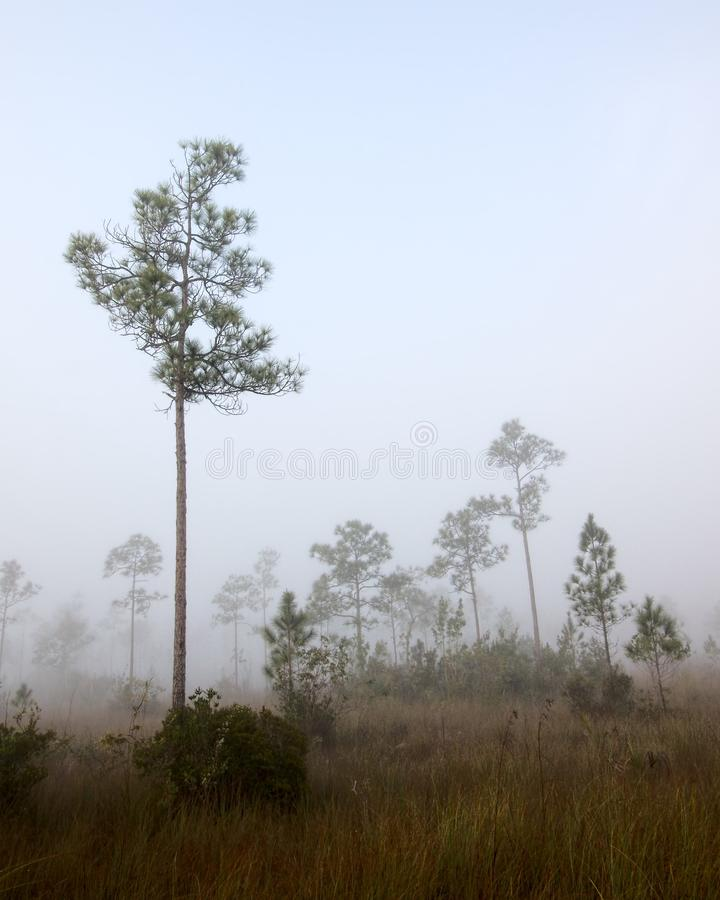 Download Early Morning Fog Pine Land Stock Image - Image: 29469819