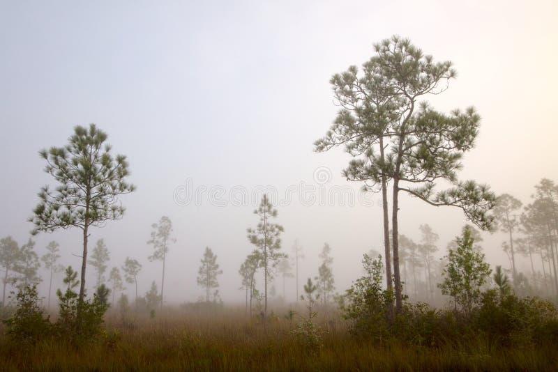 Early Morning Fog Pine Land Royalty Free Stock Photo