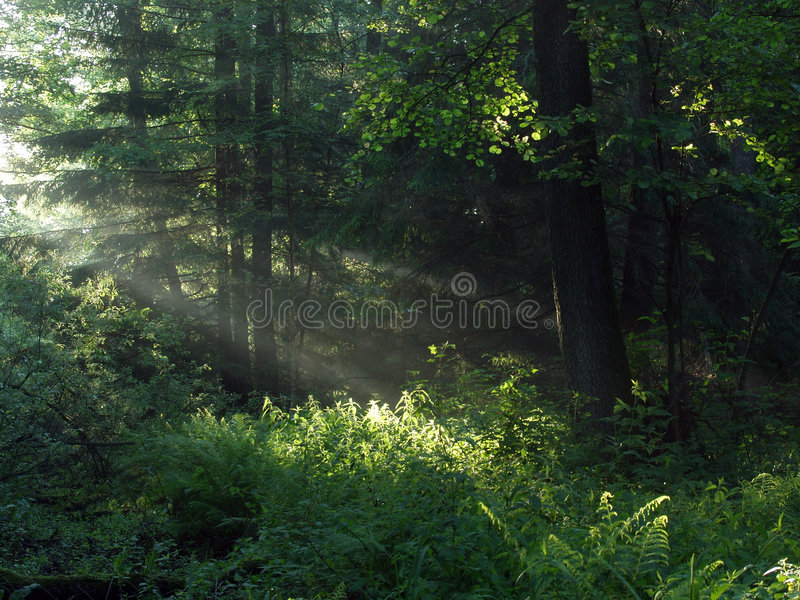 Early morning in the forest royalty free stock photo