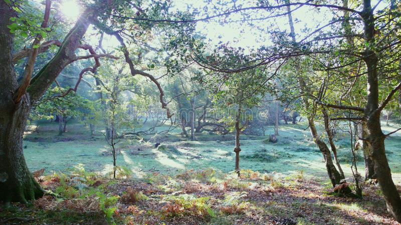 Early morning in the forest. A morning view in the New Forest in Dorset in England.  Dew is on the grass and the sun is still low royalty free stock images