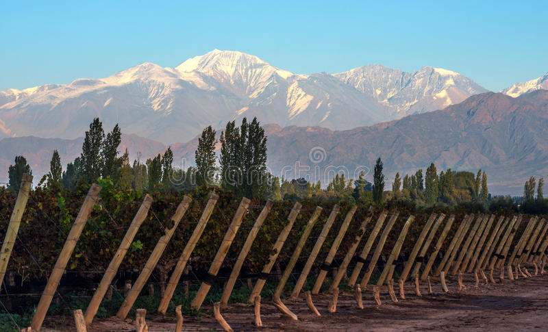 Early morning in the late autumn vineyard, Mendoza. Early morning in the late autumn: Volcano Aconcagua Cordillera and Vineyard. Andes mountain range, in the royalty free stock photography