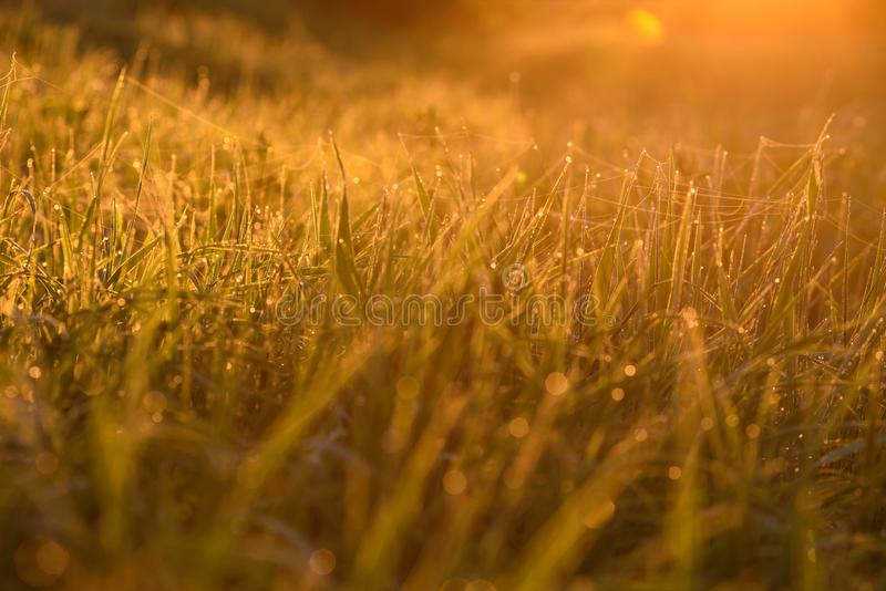 Early morning on the tips of the grass. Early morning. The rising of the sun. Warm light shimmers in the dewdrops of the field grass entangled in a thin network royalty free stock photos