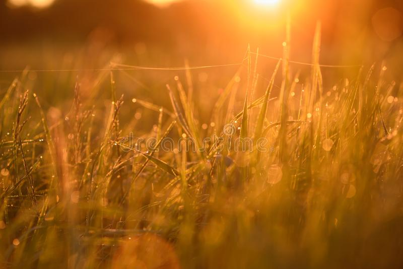 Early morning on the tips of the grass. Early morning. The rising of the sun. Warm light shimmers in the dewdrops of the field grass entangled in a thin network stock photography