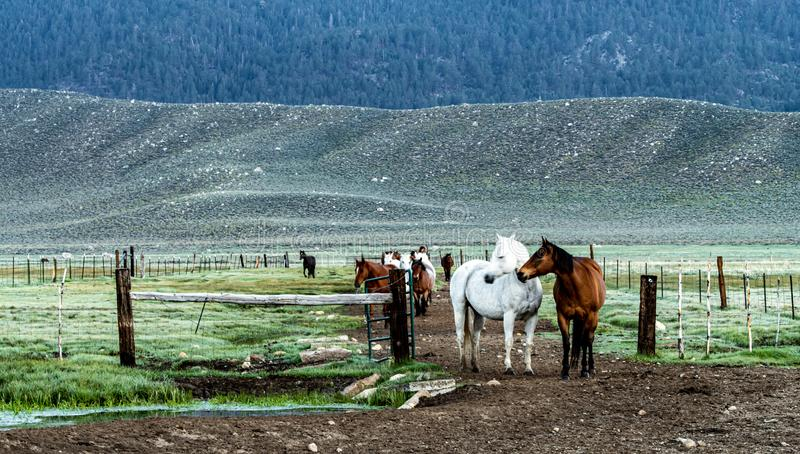 Early Morning Roundup Of Horses At Hunewill Ranch in Bridgeport Valley. Early morning roundup of horses at Hunewill Ranch located in beautiful Bridgeport Valley stock images