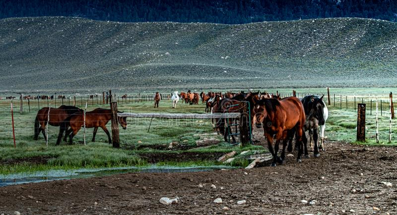 Early Morning Roundup of Horses On The  Ranch. Early morning roundup of horses on the ranch on a beautiful Spring day with sage brush covered hills and dew stock photography