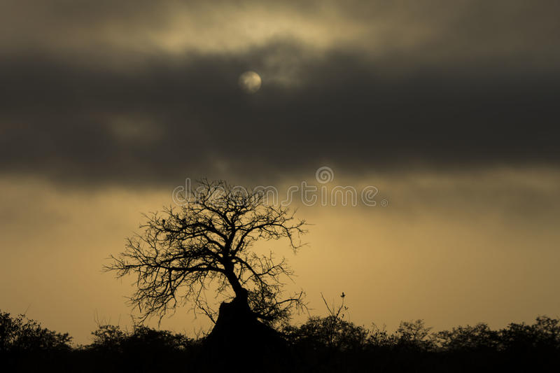 Early Morning in Southern Africa - Tree covered by an ant mound royalty free stock photography