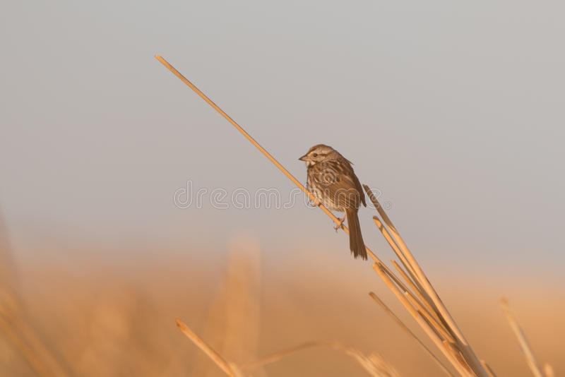 Early Morning Sparrow royalty free stock image