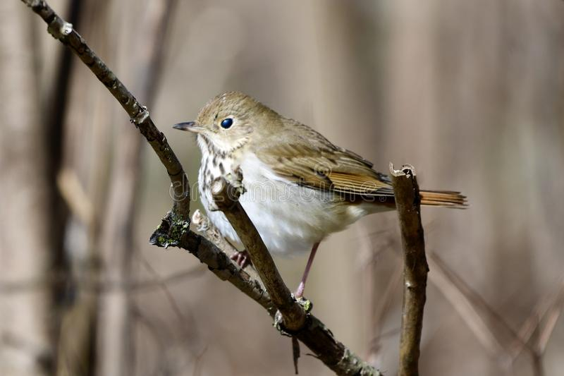 A Hermit Thrush #3. This is an early morning Spring picture of a Hermit Thrush perched on a branch in the Montrose Point Bird Sanctuary located in Chicago royalty free stock photos