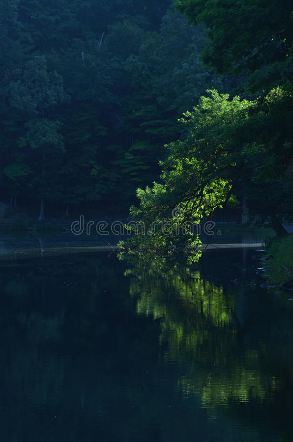 Early Morning sun illuminates green tree leaning over pond and reflected in water royalty free stock photos